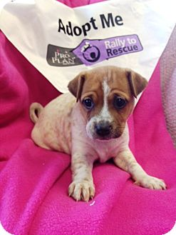 Shar Pei/Boxer Mix Puppy for adoption in Lancaster, Kentucky - Freckles