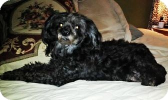 Poodle (Miniature) Mix Dog for adoption in Windham, New Hampshire - Pepper