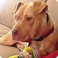 Adopt A Pet :: MAMA MIA - North Haven, CT