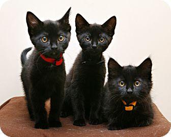 Domestic Shorthair Kitten for adoption in Bellingham, Washington - Bastet