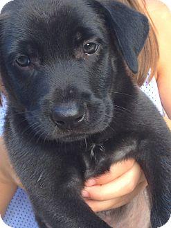 Labrador Retriever Mix Puppy for adoption in Memphis, Tennessee - Blake
