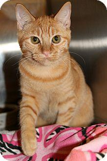 Domestic Mediumhair Cat for adoption in Plano, Texas - SUNSHINE - SWEET PLAYBOY!!!