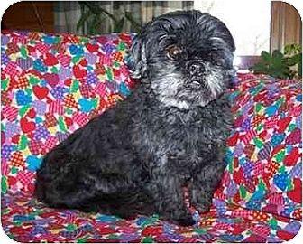 Shih Tzu Dog for adoption in Old Fort, North Carolina - Mia