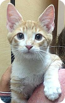 Domestic Shorthair Cat for adoption in Weatherford, Texas - Cole