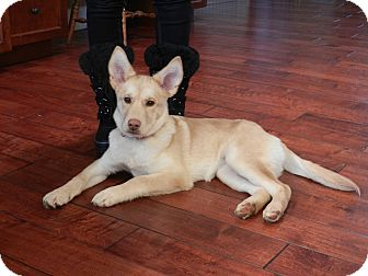 Shepherd (Unknown Type)/Husky Mix Puppy for adoption in West Milford, New Jersey - LACY