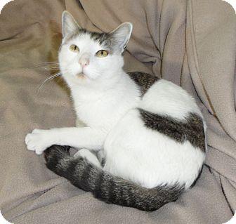 Domestic Shorthair Cat for adoption in Plano, Texas - TREK - SUPER SWEETHEART!!!