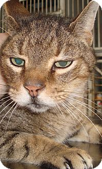 Domestic Shorthair Cat for adoption in Elmira, New York - Frank