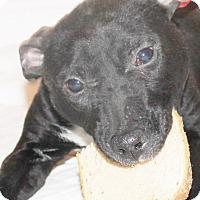 Adopt A Pet :: Mahlia - Chapel Hill, NC