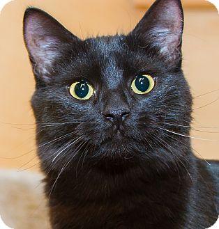 Domestic Shorthair Cat for adoption in Irvine, California - Ethel