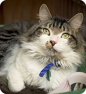 Domestic Longhair Cat for adoption in Port Washington, New York - Colonel Forbin