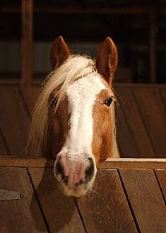 Haflinger for adoption in Pleasant View, Tennessee - Waldemar