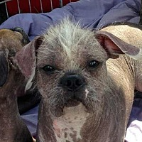Adopt A Pet :: Meatball - Inverness, FL