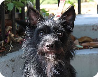 Terrier (Unknown Type, Small) Mix Puppy for adoption in Los Angeles, California - Raisin