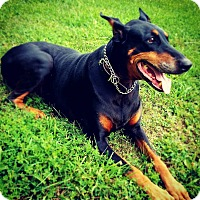 Doberman Pinscher Dog for adoption in New Richmond, Ohio - Rayne