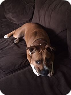 Boxer/American Pit Bull Terrier Mix Dog for adoption in New Albany, Ohio - Scarlet