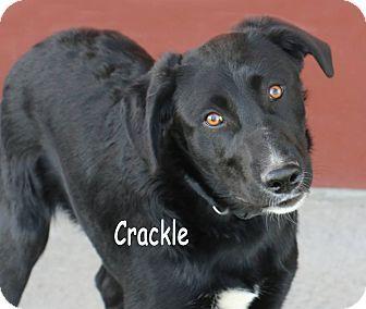 Labrador Retriever Mix Dog for adoption in Idaho Falls, Idaho - Crackle