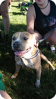 Bulldog/American Staffordshire Terrier Mix Dog for adoption in Joshua, Texas - Hoss