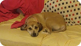 Shepherd (Unknown Type)/Anatolian Shepherd Mix Dog for adoption in Billerica, Massachusetts - Terra