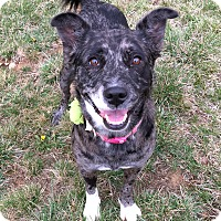 Adopt A Pet :: Remy - st peters, MO