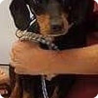 Adopt A Pet :: Annie Oakley - Aurora, CO