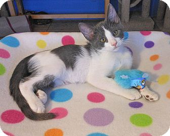 American Shorthair Kitten for adoption in Glendale, Arizona - Matthew