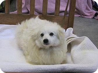 American Eskimo Dog Dog for adoption in Holland, Michigan - Tana Glacier