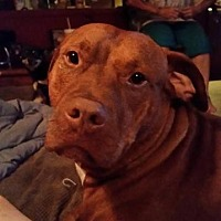 Pit Bull Terrier Dog for adoption in Dickinson, Texas - Ozzy(CP)