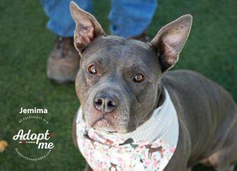 American Pit Bull Terrier Mix Dog for adoption in Kansas City, Missouri - Jemima