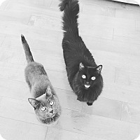 Domestic Mediumhair Cat for adoption in Clarkston, Michigan - Simon & Oscar (Brothers)