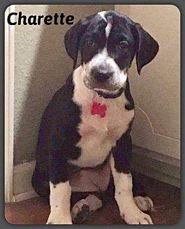 Labrador Retriever/Retriever (Unknown Type) Mix Puppy for adoption in DeForest, Wisconsin - Charette