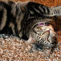 Adopt A Pet :: Audrey Hepburn - Mission, KS