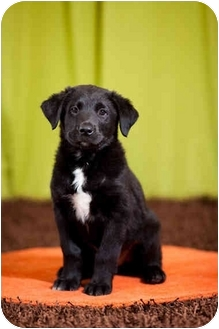 Labrador Retriever Mix Puppy for adoption in Portland, Oregon - Hunter