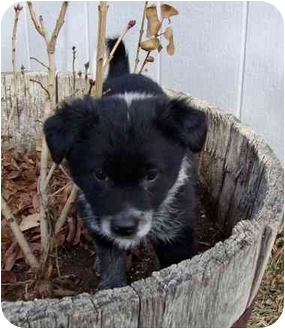 Border Collie Mix Puppy for adoption in Denver, Colorado - Teva (T Pups)