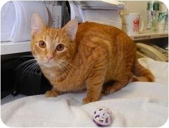 Domestic Shorthair Cat for adoption in New York, New York - Casper