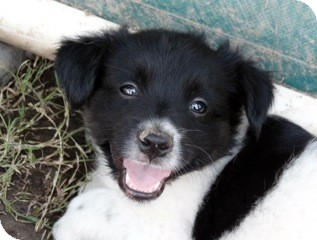 Border Collie/Rat Terrier Mix Puppy for adoption in Metairie, Louisiana - Bellini