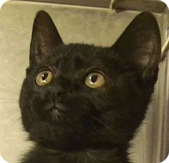 Domestic Shorthair Kitten for adoption in El Cajon, California - Gypsy