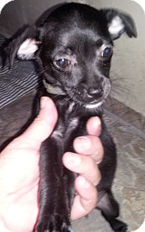 Chihuahua Mix Puppy for adoption in Houston, Texas - HONEY