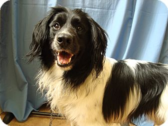 Border Collie/Spaniel (Unknown Type) Mix Dog for adoption in Youngwood, Pennsylvania - Charlie