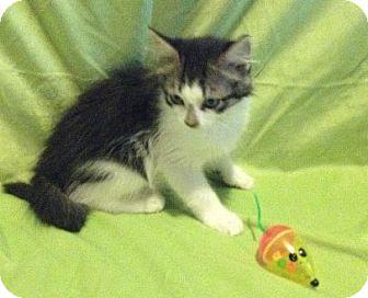 Domestic Mediumhair Kitten for adoption in Virginia Beach, Virginia - Aden
