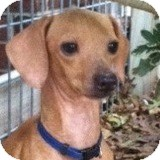 Dachshund Dog for adoption in Houston, Texas - Dolly Dreidel