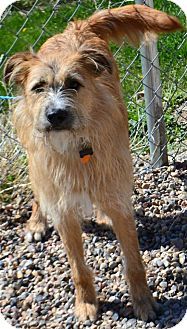 Wheaten Terrier Mix Dog for adoption in Fruit Heights, Utah - Lincoln