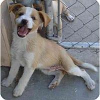 Adopt A Pet :: Kahani - Fowler, CA
