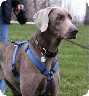 Weimaraner Dog for adoption in Mason, Michigan - The New Levi