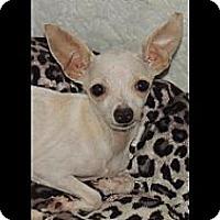 Adopt A Pet :: Tiny 3lb Tinkerbell - La Habra Heights, CA