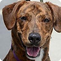 Adopt A Pet :: Nala - Rockaway, NJ