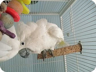 Cockatoo for adoption in Neenah, Wisconsin - Baby