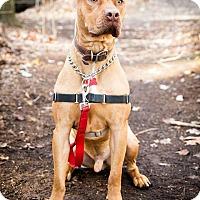 Adopt A Pet :: Bear cub - Tinton Falls, NJ