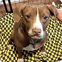 Adopt A Pet :: Maple - Clarksburg, MD