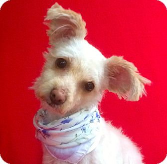 Maltese/Poodle (Miniature) Mix Dog for adoption in Irvine, California - Sally