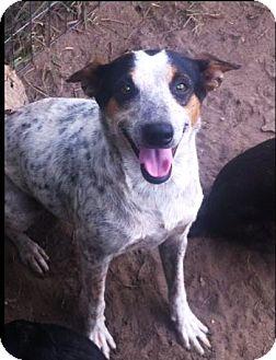 Rat Terrier/Cattle Dog Mix Dog for adoption in Bogalusa, Louisiana - Sasha